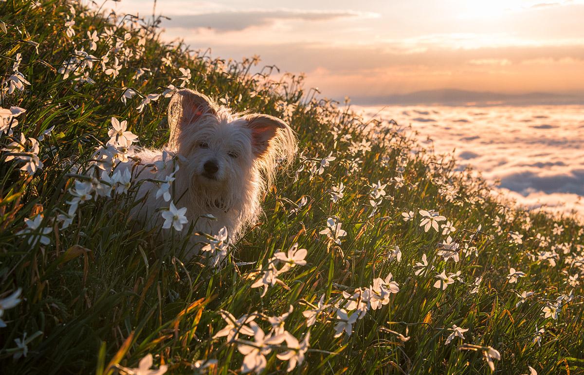Psička Bela med travniki