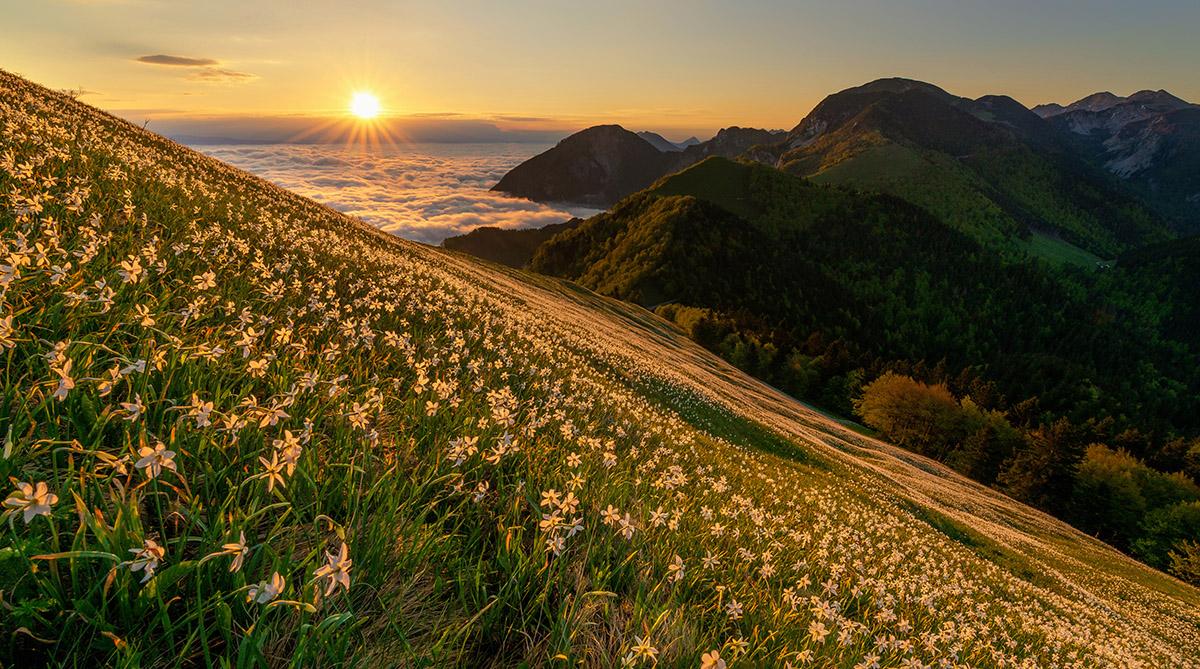 Narcise žarijo v jutranji svetlobi na pobočjih Male Golice