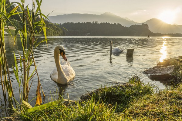 Swans in the early morning on lake Bled. Swans greeting you at s