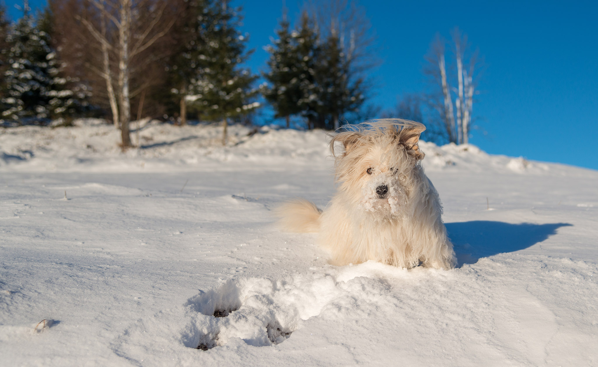 White dog enjoying in the snow on a winter morning