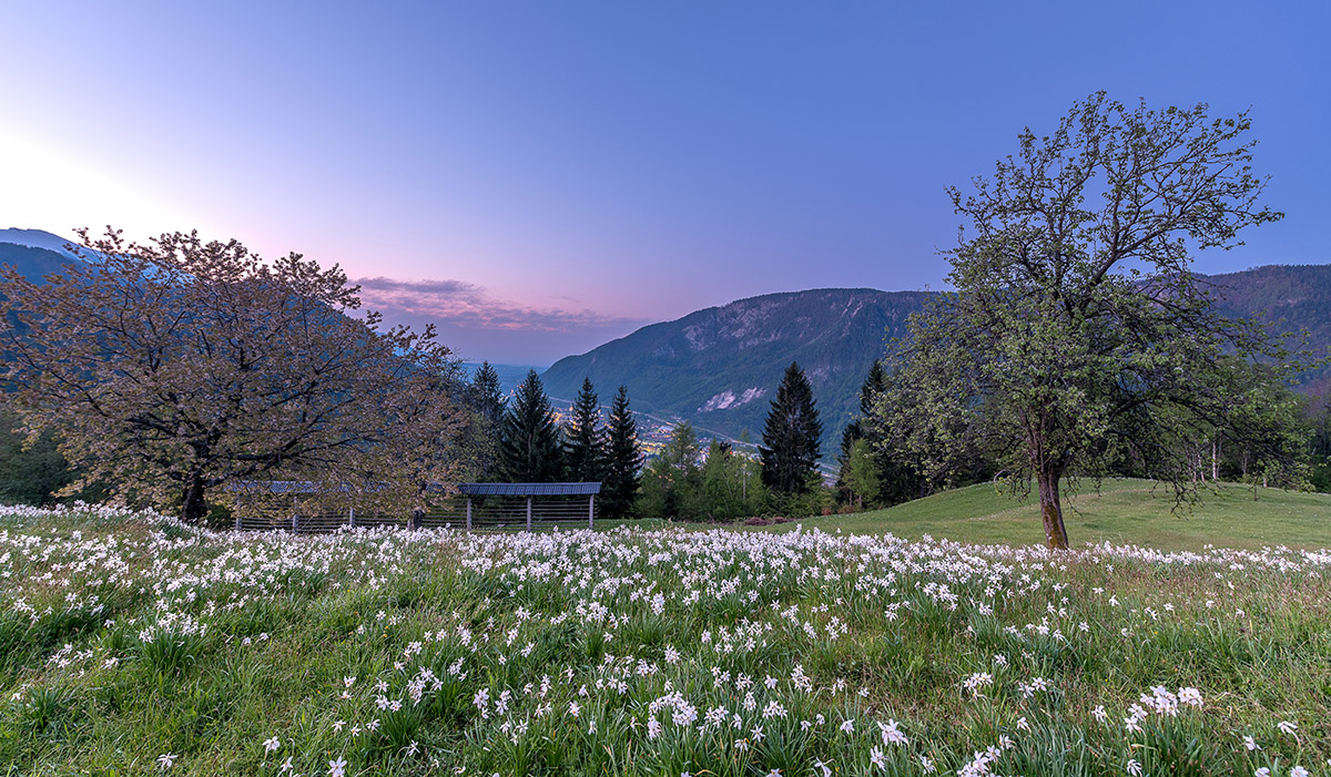 Daffodils on the meadow in the early spring in Slovenia