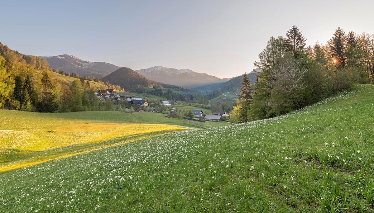 Plavski-rovt-Jesenice-daffodils-and-stars-9