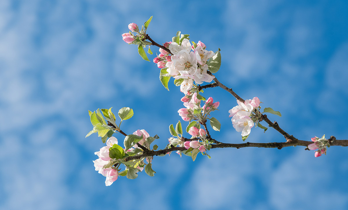 Cherry blossoms with blue sky above