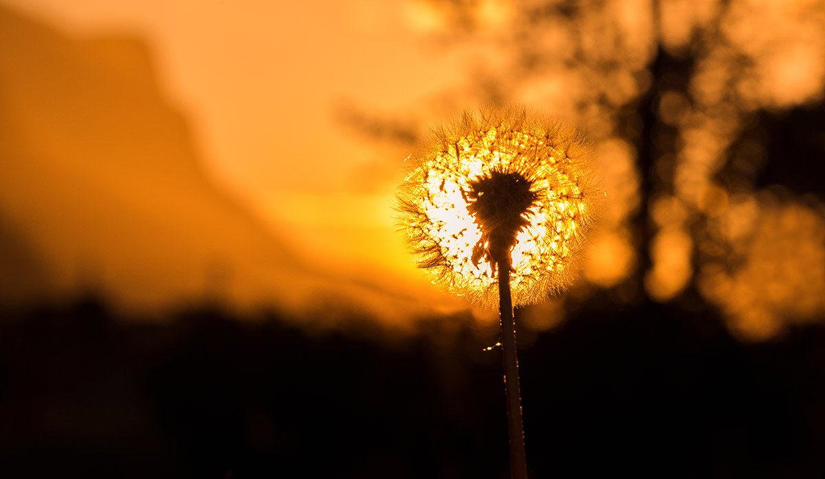 Dandelion in the setting sun