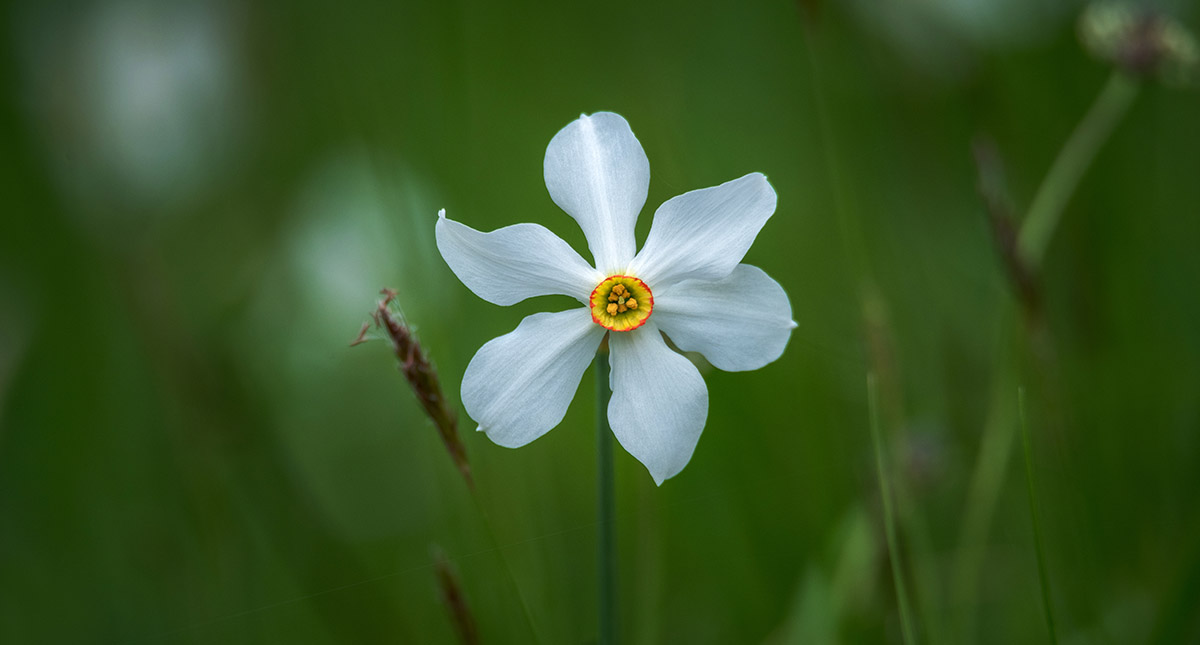 Narcisa na zelenem ozadju