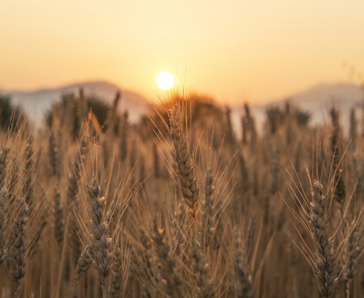 Sunset over the Wheat Field. Photograph was taken in a village R