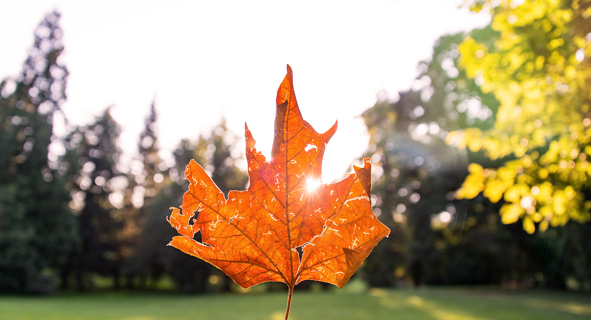 Sun glowing through the autumn leaf in a heart shaped glow.