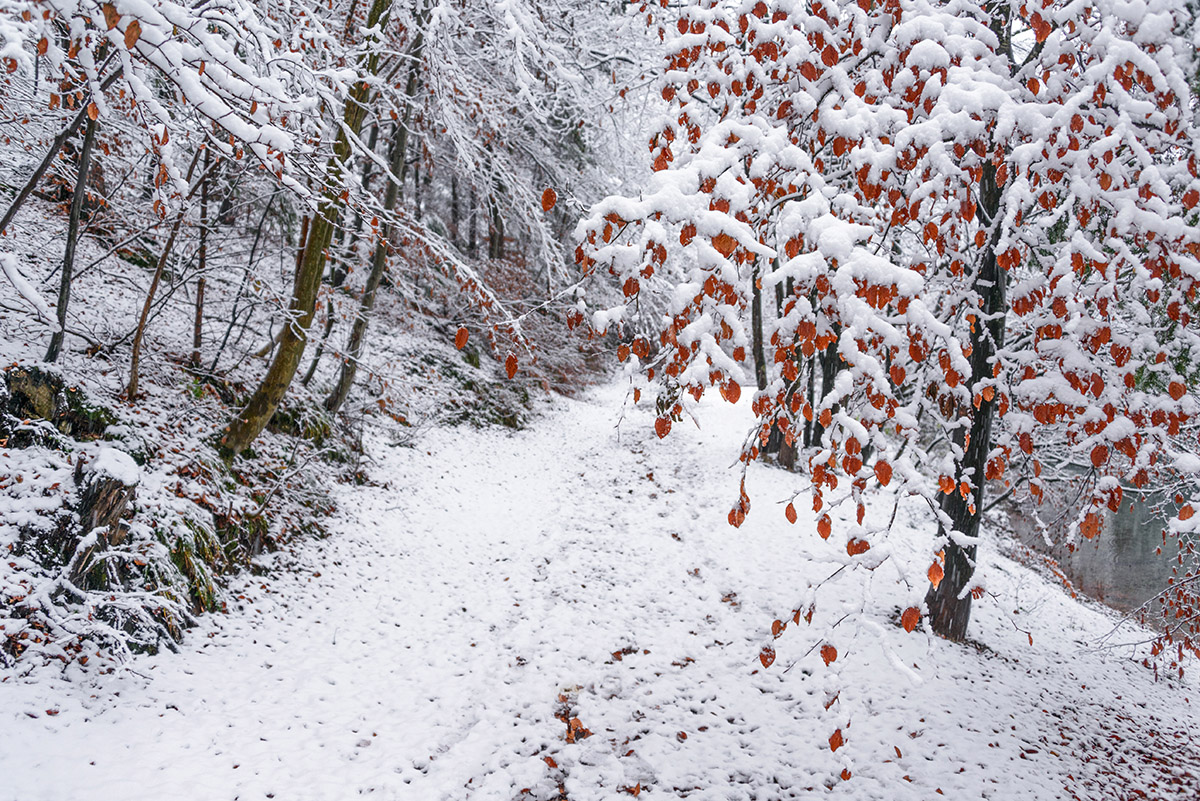 Autumn leaves covered with snow