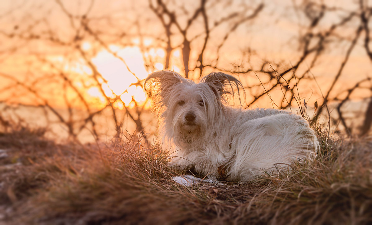 Small white dog resting on top of the hill at sunset