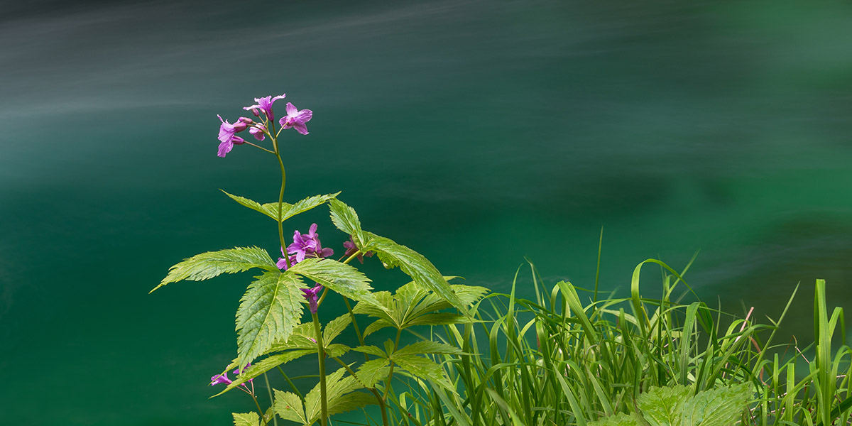 Flower in front of the emerald stream