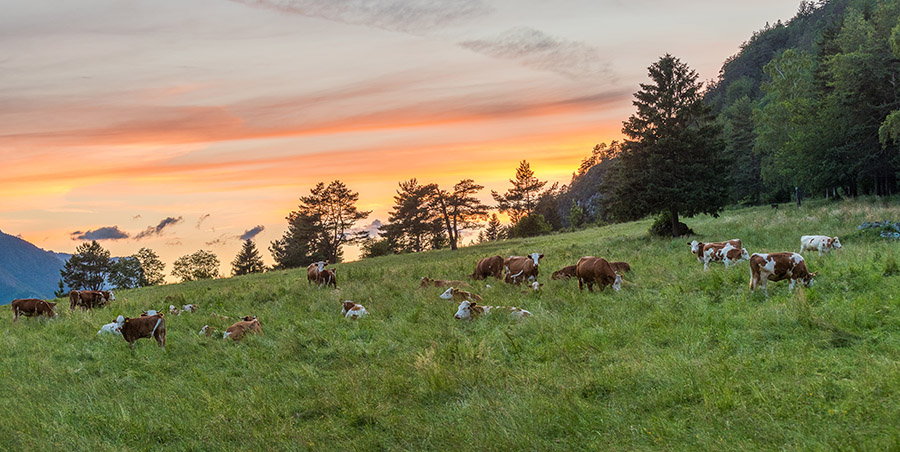 cows-resting-grass-meadow-sunset