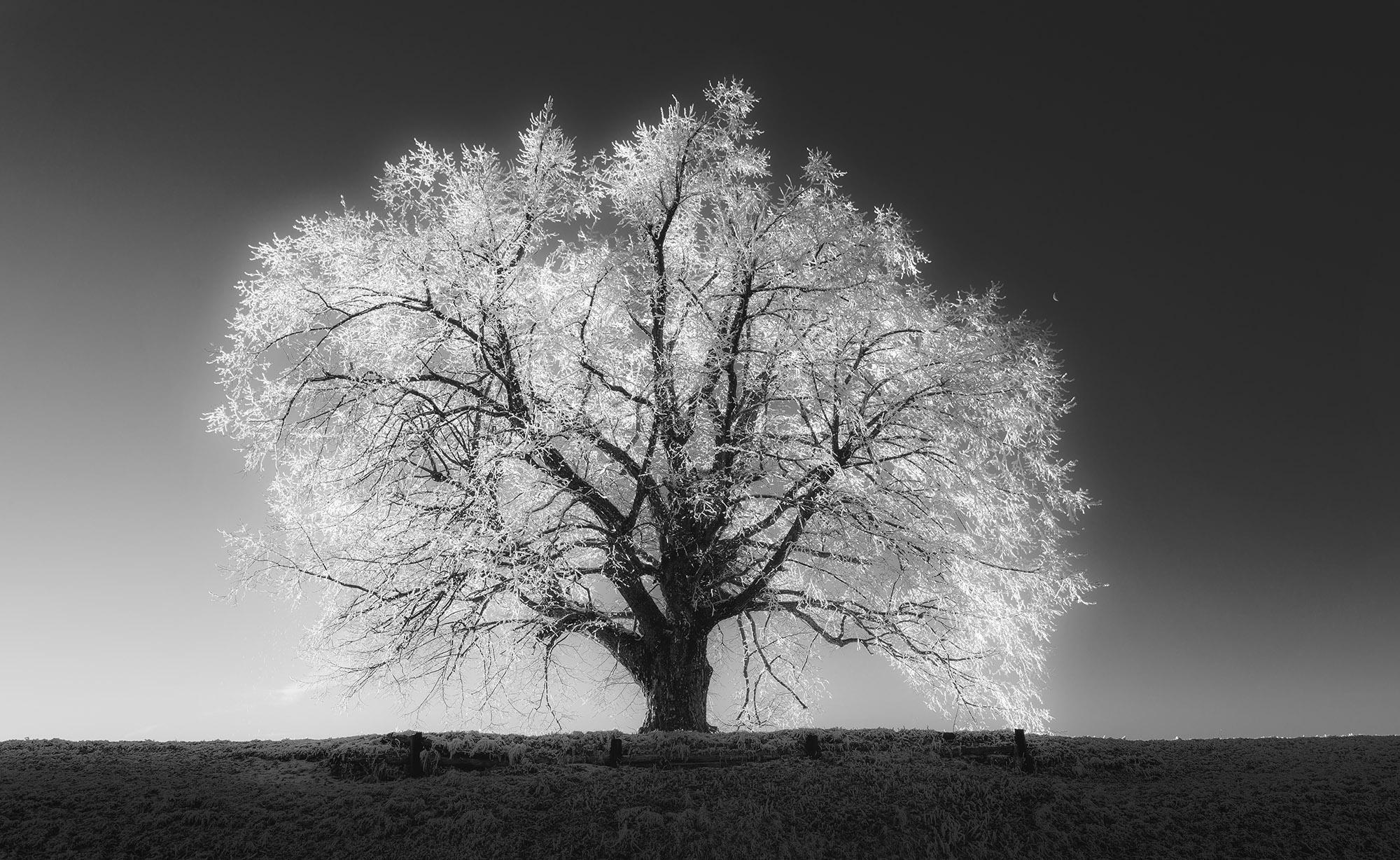 Big winter tree